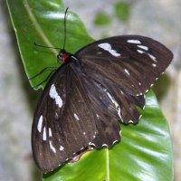 Орнитоптера приам[1][2] (лат. Ornithoptera priamus) женщина,Австралия :: Антонина