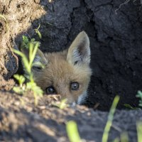 глаза дикой природы :: Ольга Шарко