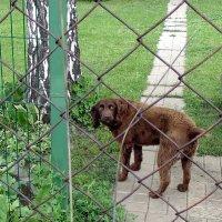 "Собака "" Коффи ""- дачница . :: Мила Бовкун"