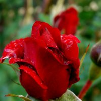 Роза после дождя :: Марина Легкая