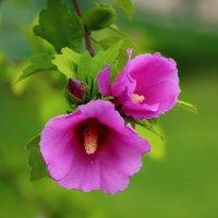 Розовая нежность :: Светлана