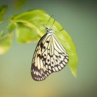 Бабочки :: Ирина Кузина