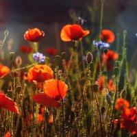 Маковая полянка на закате :: Юлия Эйснер