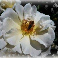 Белая роза :: Nina Yudicheva