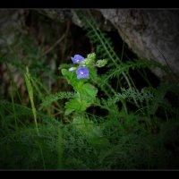 Цветы луговые :: Валерий Талашов