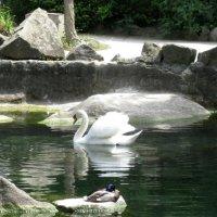 лебедь :: Юрий Колчин
