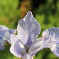 бело-фиолетовый цветок ириса :: Наталья Золотых-Сибирская