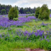 Люпиновое поле :: Ольга