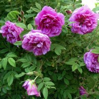 Розы цветут . Июнь. :: Мила Бовкун