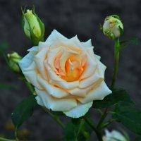 Белая роза :: Леонид Железнов