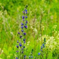 Полевые цветы :: Вячеслав Печенин