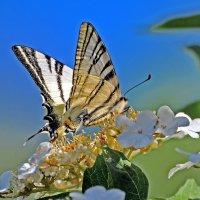 Из жизни бабочек :: Vladimir Lisunov