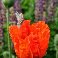 бабочка и мак :: Dmitry i Mary S