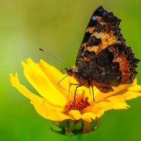 Бабочка своим хоботком высасывает нектар из  цветка. :: Анатолий Клепешнёв