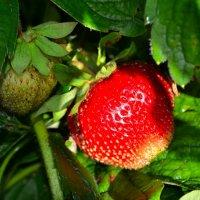 О сладкой ягоде лета :: Милешкин Владимир Алексеевич