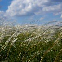 Ковыль трава. Республика Тыва :: Любовь Изоткина