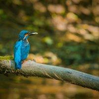 Голубой зимородок :: Kaspars Stūrītis