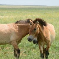 Лошадь Пржевальского :: redfox