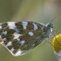 И снова бабочка сухим утром..... :: Александр Земляной