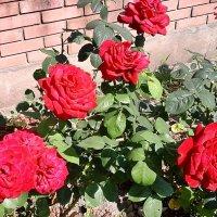 Пламенеющие розы :: Нина Корешкова
