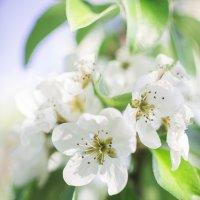Весенняя нежность цветов. :: Анастасия Мойсук
