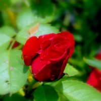 Роза :: Елена Якушина
