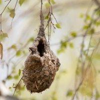 Гнездо ремеза :: Тимофей Черепанов