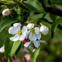 цветение яблони :: Светлана SvetNika17