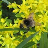 Труженица пчелка. :: Valentina