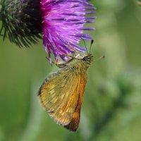 Бабочка :: Александр Смирнов