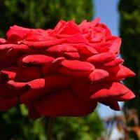 О гламуре  красной розы :: Милешкин Владимир Алексеевич