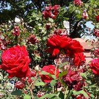 Розы из церковного двора :: Нина Корешкова