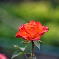 роза :: Dmitry i Mary S