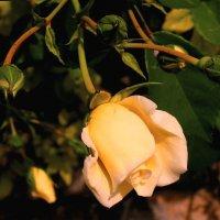Роза в моем саду :: Елена Даньшина
