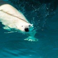Белый мишка :: Александр Буторин