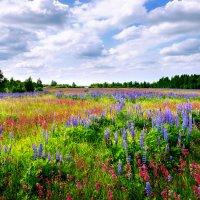 Полевые цветы. Владимирская область. :: Владимир Чернышев