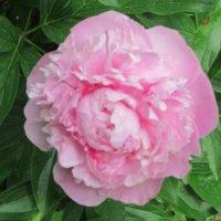 Розовый цветок :: Дмитрий Никитин