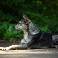 Это просто собака, но она открытая и честная, преданная и по своему чистая. Любите собак! :: Вячеслав Ложкин