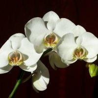 Орхидея фаленопсис белая :: Анна Хоменко