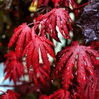 Капли на листьях после дождя :: Милешкин Владимир Алексеевич