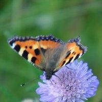 Бабочка :: Шура Еремеева