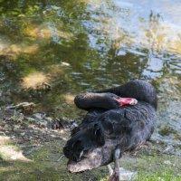 Чёрный лебедь :: marmorozov Морозова