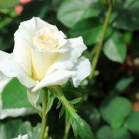 Вздыхая розы аромат..... :: раиса Орловская