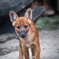Красный волчонок :: Владимир Габов
