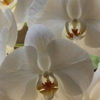 орхидея :: Olga