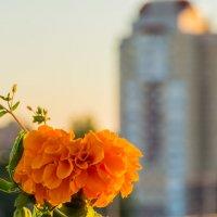 Закатный цветок :: Александр Витебский