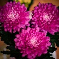 комнатные хризантемы :: Инна Церульнёва