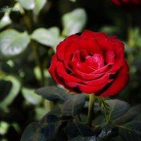 роза алая... :: Ксения