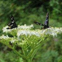 Бабочки :: valeriy khlopunov