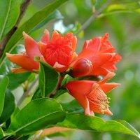 Гранат цветёт :: Swetlana V